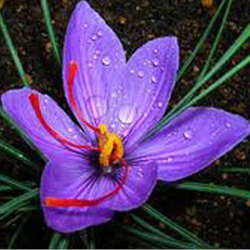 Saffron Kashmiri 5g